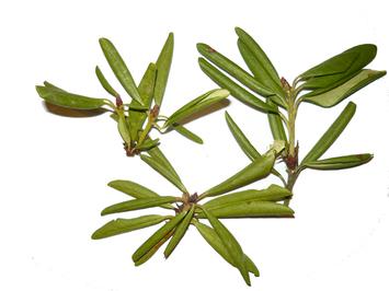 Кашкара (лист) (Роодендрон золотистый) 30 гр.